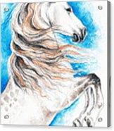 Rearing Andalusian Horse Acrylic Print