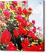Recesky - Bright Roses Acrylic Print