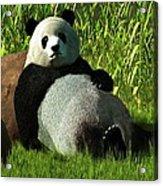 Reclining Panda Acrylic Print