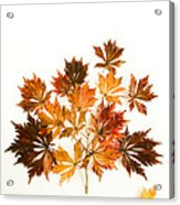 Reconstructed Full Moon Maple Acrylic Print