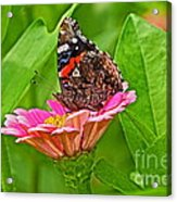 Red Admiral Butterfly And Zinnia Flower Acrylic Print