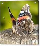 Red Admiral Butterfly Acrylic Print