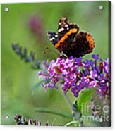 Red Admiral Butterfly On Butterfly Bush Acrylic Print