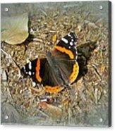 Red Admiral Butterfly - Vanessa Atalanta Acrylic Print