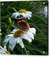 Red Admiral On A Daisy Acrylic Print