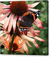 Red Admiral On Coneflower Acrylic Print