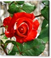 Red And Cream Rose Acrylic Print
