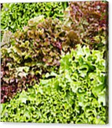 Red And Green Leaf Lettuce  Acrylic Print