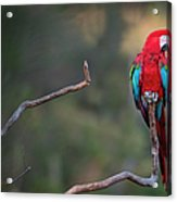Red-and-green Macaw Sitting On Branch Acrylic Print