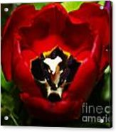 Red And Tulip Acrylic Print by Rebecca Christine Cardenas