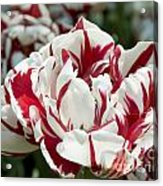 Red And White 6393 Acrylic Print