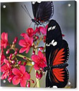 Red And White Longwing Butterflies  Acrylic Print