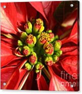 Red And White Poinsettia Flower Acrylic Print by Catherine Sherman
