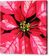 Red And White Poinsettia Acrylic Print
