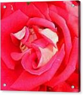Red And White Rose Acrylic Print