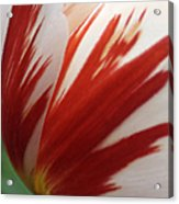 Red And White Tulip  Acrylic Print