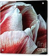 Red And White Tulip Closeup Acrylic Print