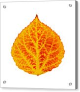 Red And Yellow Aspen Leaf 6 Acrylic Print