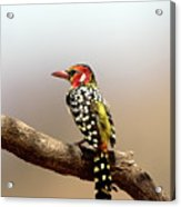 Red And Yellow Barbet Acrylic Print