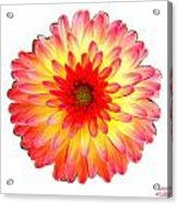 Red And Yellow Dahlia Acrylic Print