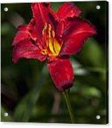 Red And Yellow Daylily  Acrylic Print