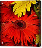 Red And Yellow Glory - The Flowers Of Summer - Gerbera Daisies Acrylic Print