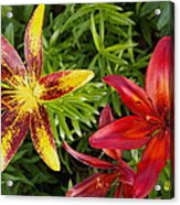 Red And Yellow Lilly Flowers In The Garden Acrylic Print