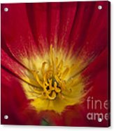 Red And Yellow Poppy 1 Acrylic Print