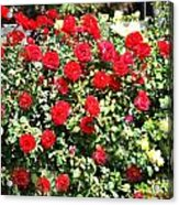 Red And Yellow Roses Acrylic Print