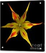 Red And Yellow Spiked Tulip Acrylic Print