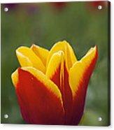 Red And Yellow Tulip Closeup Acrylic Print