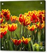 Red And Yellow Tulips II Acrylic Print