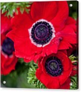 Red Anemone. Flowers Of Holland Acrylic Print
