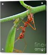 Red Ant Acrylic Print