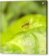 Red Ant On Green Leaf Acrylic Print