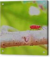 Red Aphid On A Limb Acrylic Print