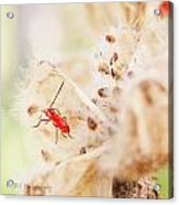 Red Aphid Seed Pod Acrylic Print