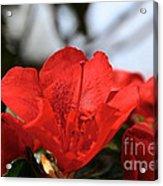 Red April Acrylic Print