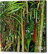 Red Bamboo Acrylic Print