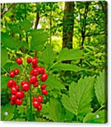Red Baneberry Along Rivier Du Nord Trail In The Laurentians-qc Acrylic Print