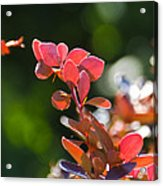 Red Barberry Acrylic Print