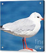 Red-beaked Seagull Resting On The Port Acrylic Print