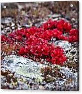 Red Bearberry Acrylic Print by Chris Heitstuman