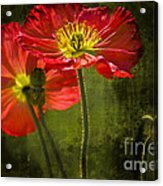 Red Beauties In The Field Acrylic Print
