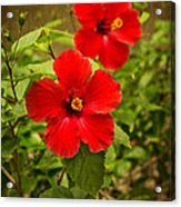 Red - Beautiful Hibiscus Flowers In Bloom On The Island Of Maui. Acrylic Print