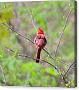 Red Beauty Acrylic Print