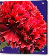 Red Beauty Carnation Acrylic Print