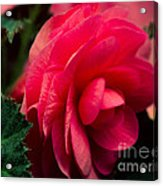 Red Begonia Acrylic Print
