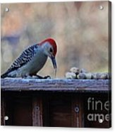 Red Bellied Woodpecker 2 Acrylic Print