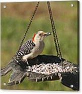 Red Bellied Woodpecker - Melanerpes Carolinus Acrylic Print